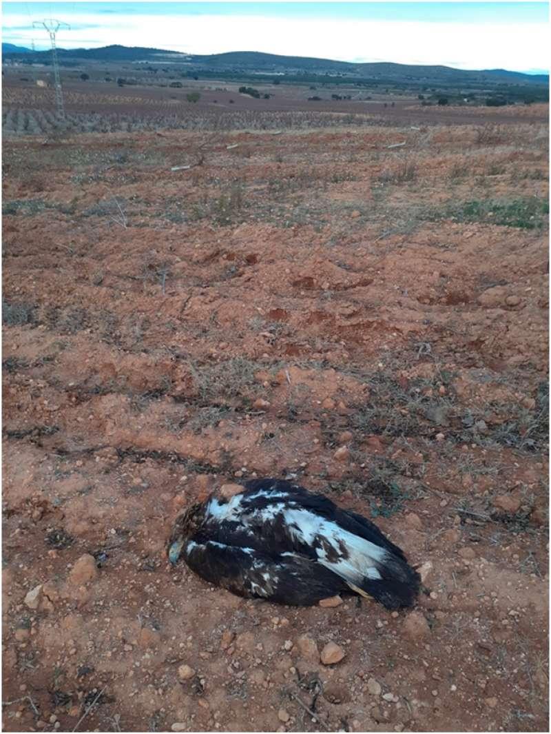 Águila electrocutada en Camporrobles