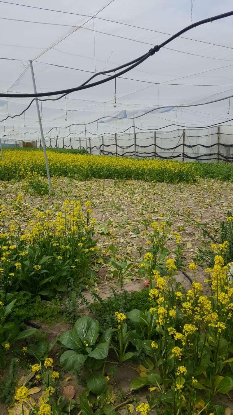 Verduras orientales del Perelló. FOTO AVA