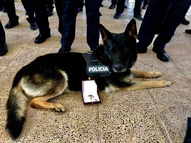 Bingo el perro policía de Alaquàs. EPDA