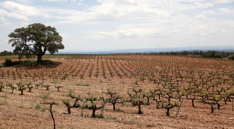 Piantación de viñedos. EPDA.