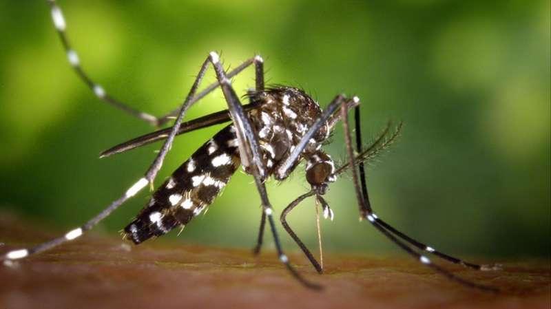 Mosquito tigre. EPDA