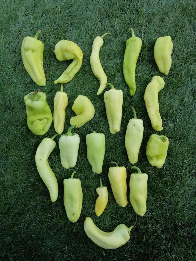 Pimientos, el vegetal fruto de esta investigación, en una imagen de la UPV.