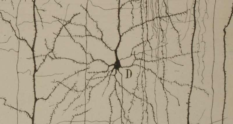 Dibujo de Ramón y Cajal que describe la estructura de una neurona del córtex cerebral. / Legado Cajal