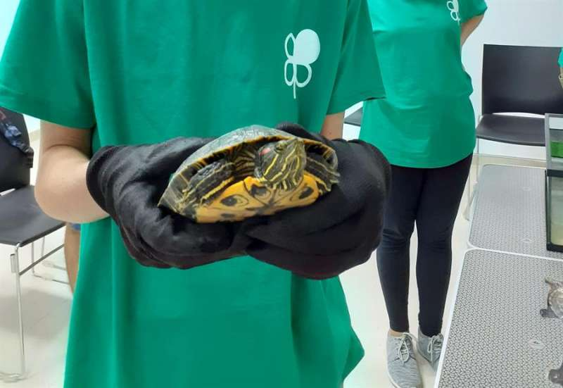 Imagen facilitada por el Ayuntamiento de Quart de la campaña de convservación de tortugas autóctonas.