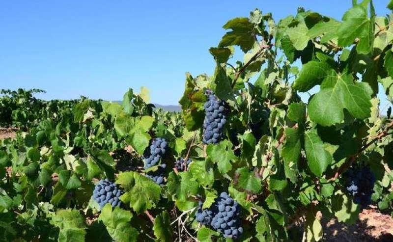Imagen archivo de un campo de uva. -EPDA