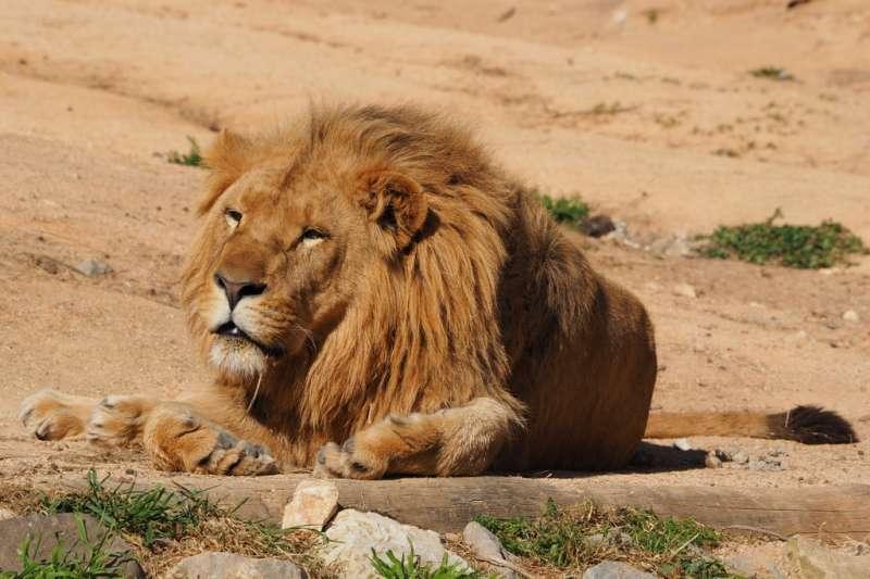 El león en el zoo de Lisboa. EPDA